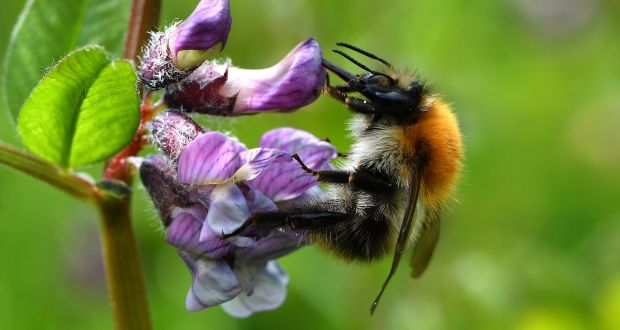 Ireland's bee and butterfly populations declining, report finds