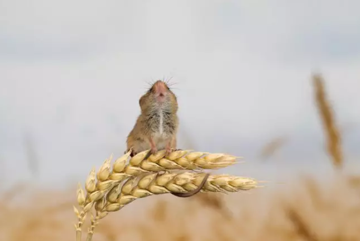 35 Adorable Pics Of Harvest Mice Living Their Little Lives